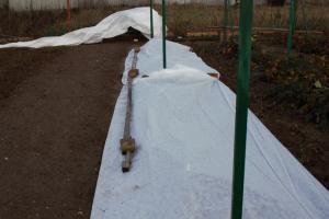 как укрыть шелковицу на зиму видео